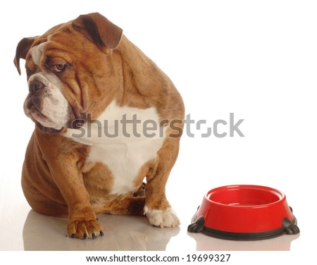 english bulldog turning her nose up to an empty food dish - hungry dog - stock photo