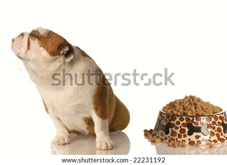 english bulldog turning nose up at full dish of food - stock photo