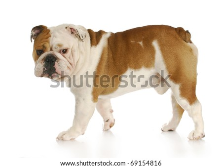 english bulldog walking away looking at viewer with reflection on white background