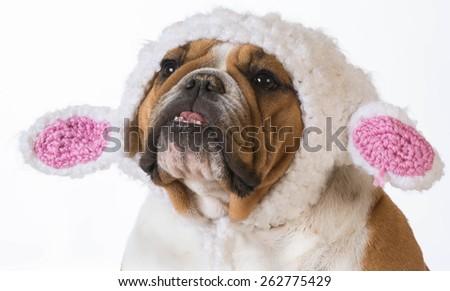 english bulldog wearing a knitted lamb hat on white background - stock photo