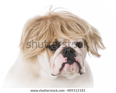 english bulldog wearing a wig on white background