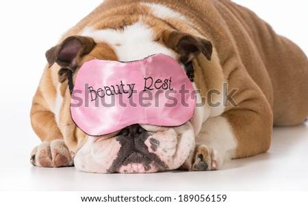 english bulldog wearing beauty rest eye mask sleeping - stock photo