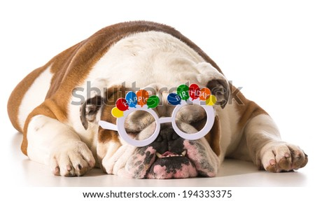 english bulldog wearing birthday glasses on white background - stock photo