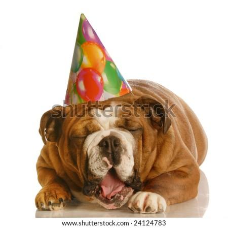 english bulldog wearing birthday hat yawning isolated on white background - stock photo