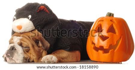 English bulldog wearing black cat costume sleeping beside pumpkin - stock photo
