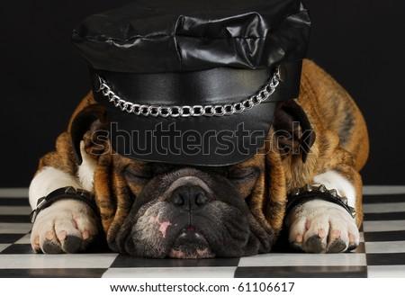 english bulldog wearing black leather dressed up like motorcycle gang - stock photo