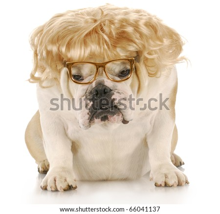 english bulldog wearing blond wig and reading glasses with reflection on white background - stock photo