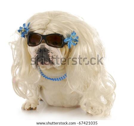 english bulldog wearing blonde wig and blue jewelry on white background - stock photo