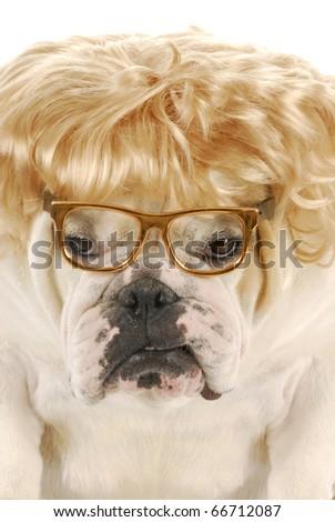 english bulldog wearing blonde wig and glasses on white background - stock photo