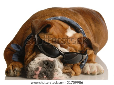 english bulldog wearing blue handkerchief and cool glasses - stock photo