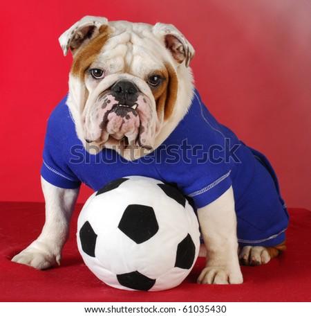 english bulldog wearing blue shirt with stuffed soccer ball sitting on red background - stock photo