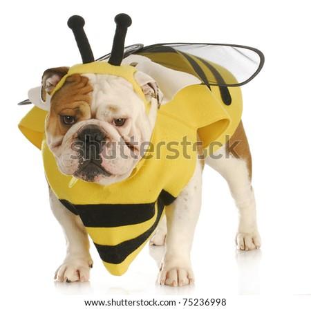 english bulldog wearing bumble bee costume on white background - stock photo