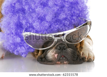 english bulldog wearing clown glasses and purple wig with reflection on white background - stock photo