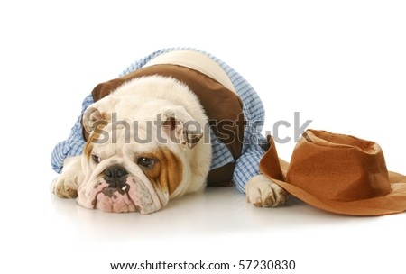 english bulldog wearing cowboy shirt laying down beside western hat on white background - stock photo