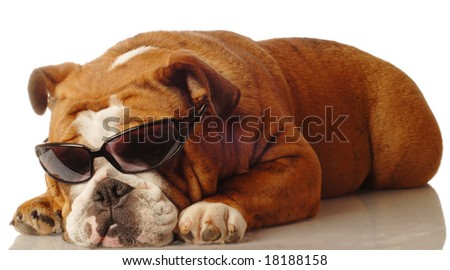 english bulldog wearing dark sunglasses - isolated on white - stock photo