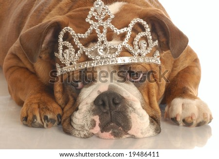 english bulldog wearing diamond studded tiara isolated on white background - stock photo