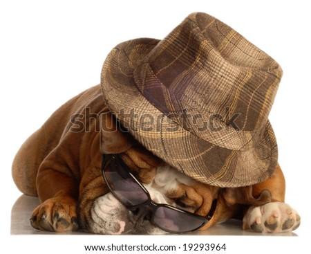 English bulldog wearing fedora and dark sunglasses - stock photo
