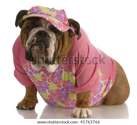 english bulldog wearing female pink clothing and matching hat - stock photo