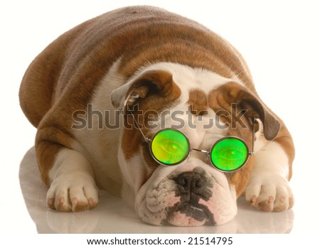 english bulldog wearing funny people eye glass isolated over white background - stock photo