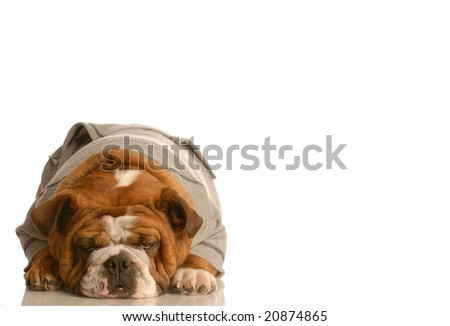 english bulldog wearing grey flannel sweatsuit with room for copyspace - stock photo