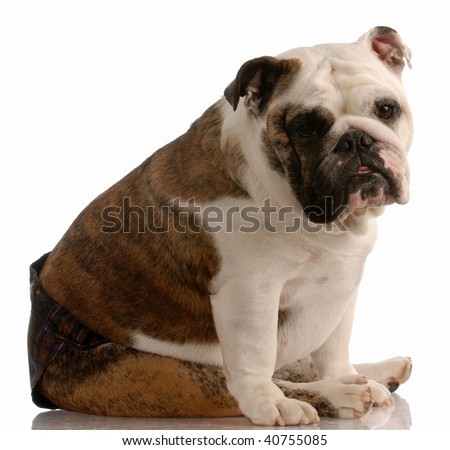 english bulldog wearing hot pants because she is in season or heat - stock photo