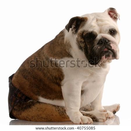 english bulldog wearing hot pants because she is in season or heat - stock photo