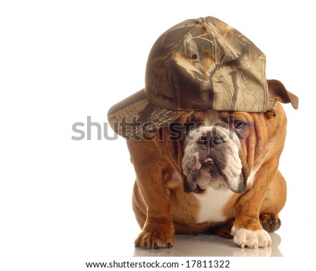 english bulldog wearing hunting cap and silly expression - stock photo