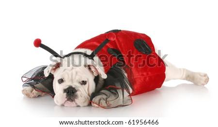 english bulldog wearing lady bug costume with reflection on white background - stock photo
