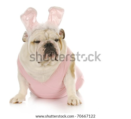 english bulldog wearing pink easter bunny costume on white background