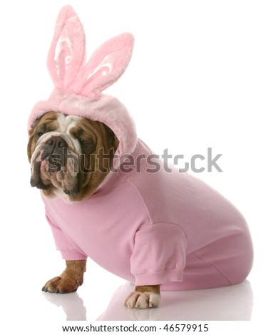 english bulldog wearing pink easter bunny costume with reflection on white background - stock photo