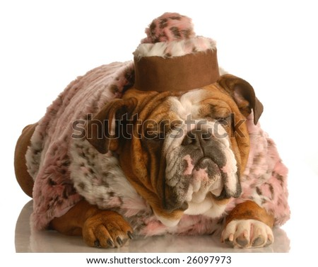 english bulldog wearing pink fur coat and pill box hat - stock photo