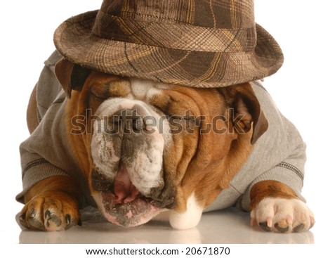 english bulldog wearing plaid fedora isolated on white background - stock photo