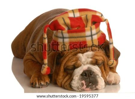 english bulldog wearing plaid hat isolated on white background - stock photo