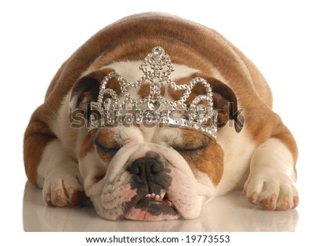 english bulldog wearing princess crown or tiara isolated on white background - stock photo