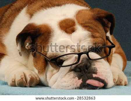 english bulldog wearing reading glasses with tongue sticking out - stock photo