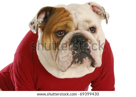 english bulldog wearing red dog coat on white background