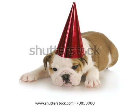 english bulldog wearing red party hat with reflection on white background - stock photo