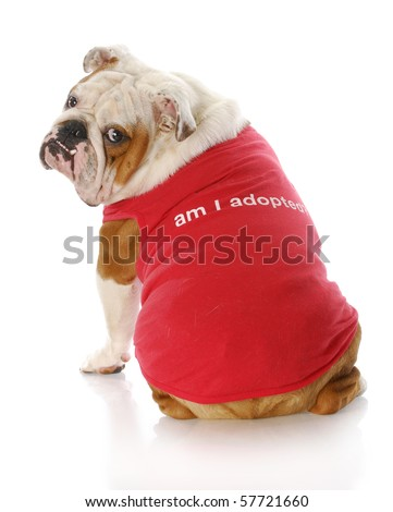 "english bulldog wearing red shirt that says ""Am I Adopted?"" with reflection on white background - stock photo"