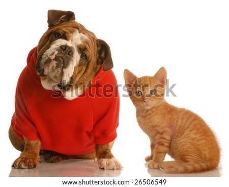 english bulldog wearing red sweater and orange tabby kitten both looking at the viewer - stock photo