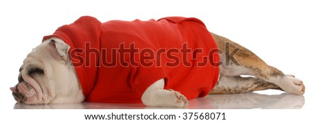 english bulldog wearing red sweater stretched out sleeping - stock photo