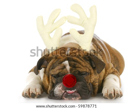 english bulldog wearing reindeer antlers and red nose with reflection on white background - stock photo