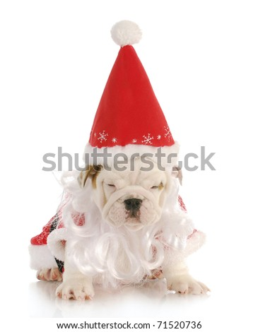 english bulldog wearing santa costume on white background - stock photo