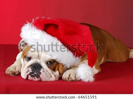 english bulldog wearing santa hat on red background - stock photo