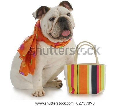 english bulldog wearing silk scarf with matching colorful purse on white background - stock photo