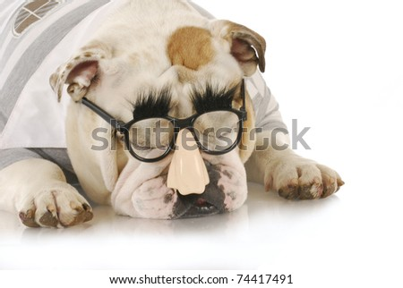 english bulldog wearing silly grouch marx glasses on white background - stock photo