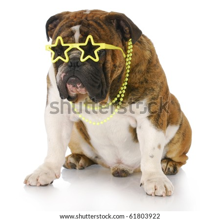 english bulldog wearing star sunglasses and necklace with reflection on white background