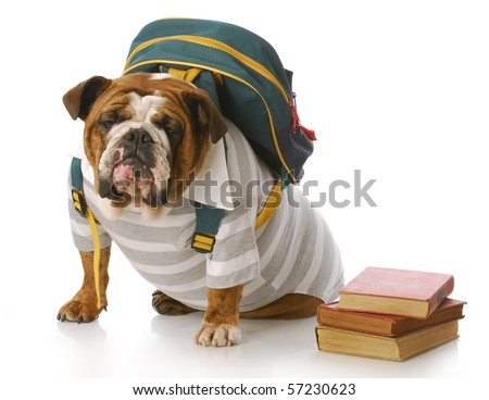english bulldog wearing striped shirt and back pack with stack of books
