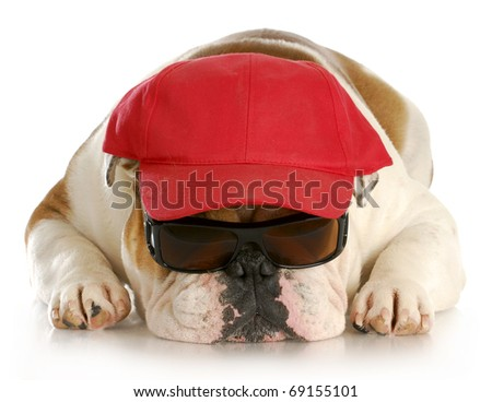 english bulldog wearing sunglasses and red hat with reflection on white background
