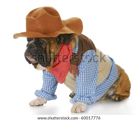 english bulldog wearing western hat and cowboy shirt with reflection on white background - stock photo