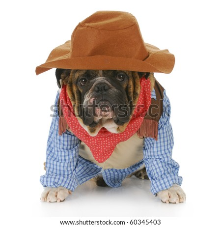 english bulldog wearing western hat and cowboy shirt with reflection on white background - stock photo